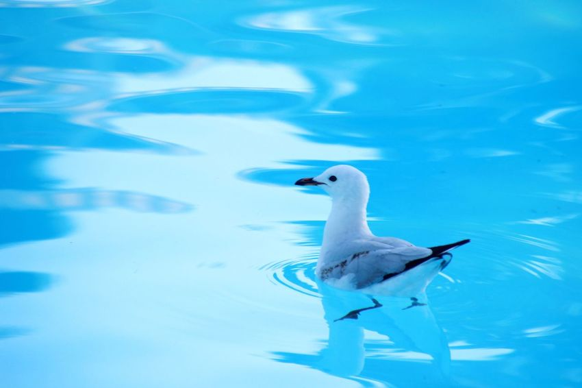 Crystal clean blue water and a lone seagull Animals In The Wild Animal Themes Bird Water Wildlife One Animal Lake Swimming Reflection Water Bird Floating On Water Blue Seagull Nature Waterfront Tranquility Water Surface Day Beauty In Nature Outdoors Serenity Minimalism Minimal Mono Background Blue Water