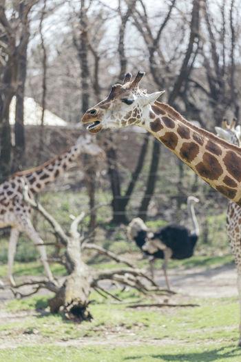 Animal Themes Animal Wildlife Animals In The Wild Close-up Day Giraffe Mammal Nature No People One Animal Outdoors Safari Animals Tree