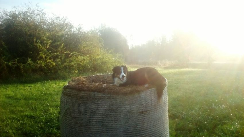 Beauty in the sun EnjaTheNinja Border Collie Dog Family❤ Dogslife Nature Outdoors Beauty In Nature Morning Beauty Tranquility Photography No People Tranquil Scene MorningWalk😄 Sunrise