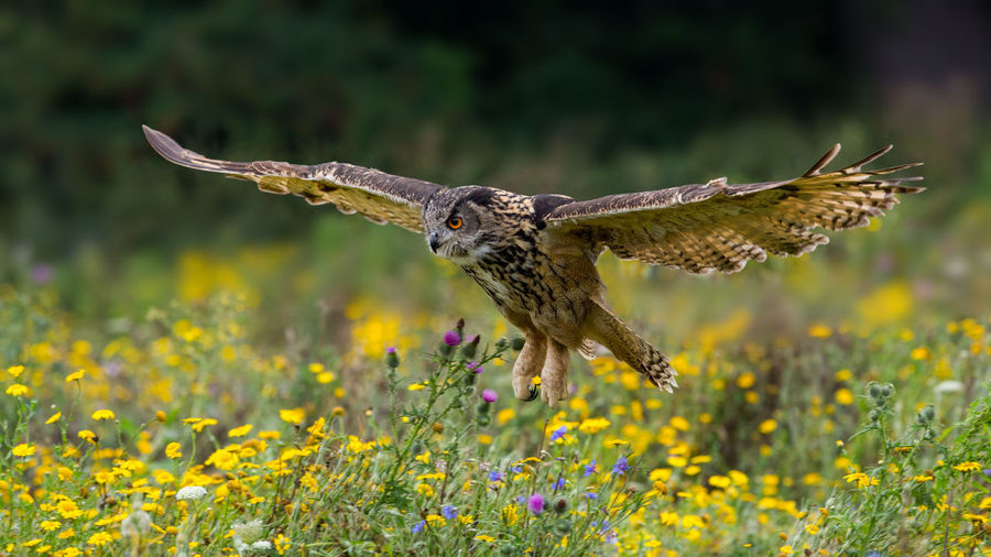 Close-Up Of Owl Flying Over Wildflowers