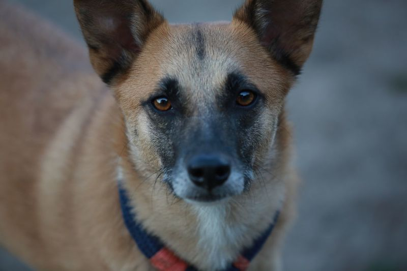 Looking At Camera One Animal Dog Portrait Animal Themes Pets Domestic Animals Mammal Close-up Animal Head  No People Day Outdoors