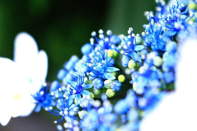 紫陽花 Arrogant Cold Hydrangea Heartless Poison Patient Love Blue あなたは美しいが冷淡だ