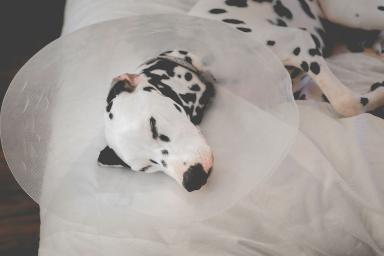 Close-Up Of Injured Dalmatian With Protective Collar