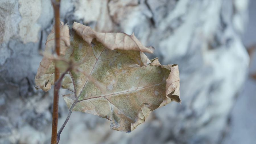 EyeEm Selects Plant Part Leaf Plant Close-up Dry Nature Day Focus On Foreground Winter Beauty In Nature Cold Temperature Leaf Vein Outdoors Fragility Vulnerability  Leaves
