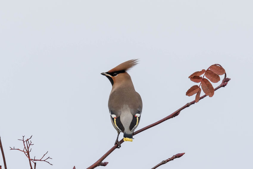 Waxwings Animal Themes Animal Wildlife Animals In The Wild Beauty In Nature Bird Birds Branch Clear Sky Day Low Angle View Nature Nature No People One Animal Outdoors Perching Sky Tree Waxwings