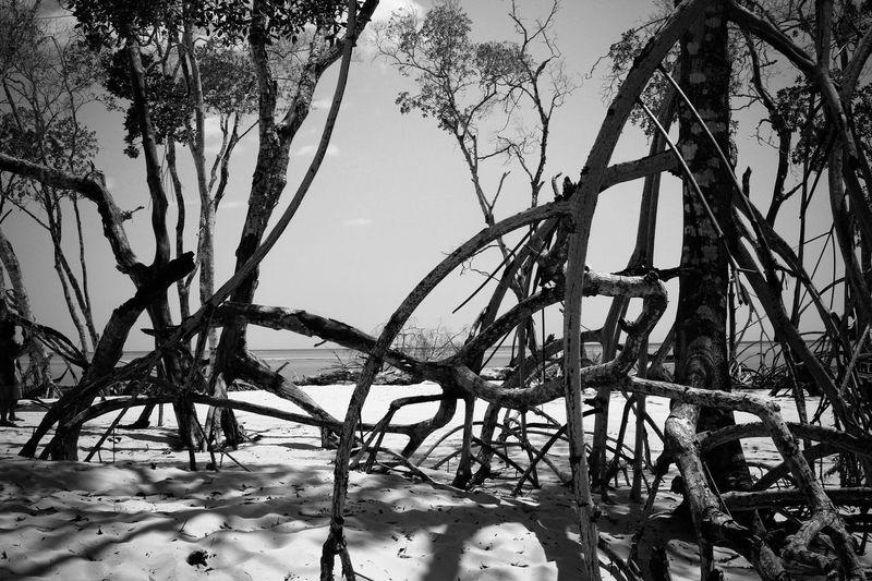 Mangue seco / mangrove dry Mangue  Raizes Mangrove Mangrove Dry Mangu Nature No People Outdoors Roots Tree