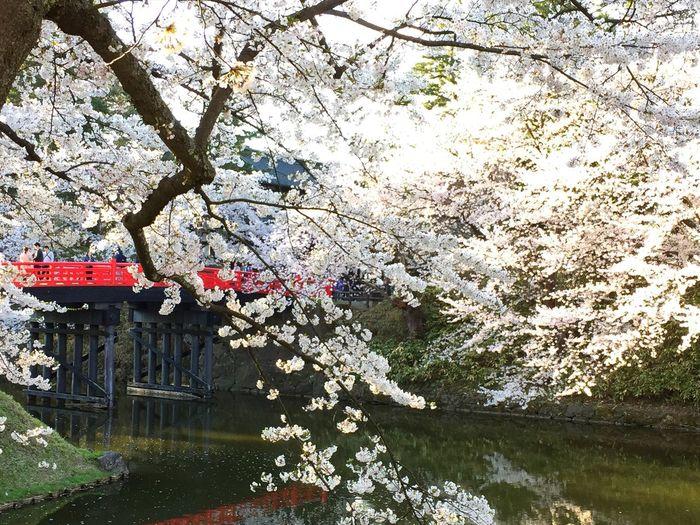 弘前 桜祭り 4/27 弘前城 Cherry Blossom 本日2枚目