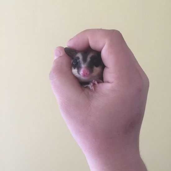 Captain Steve Major at hes best! Alperson Awesome Awesomness Famous Funny Hanging Out Happiness Happy Pet Steve Sugar Glider