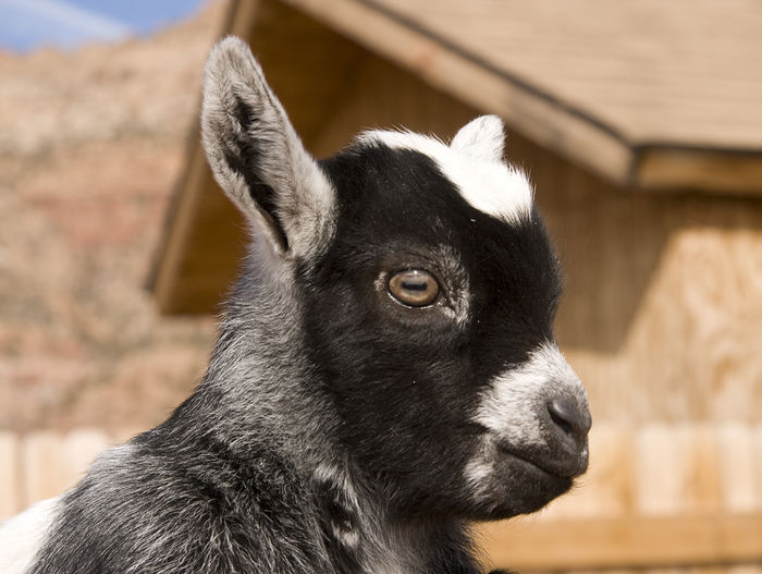 Cute little goat Animal Themes Rural Scene Livestock Baby Goats Goat Life Goat Kids Goat Kid Young Animal Goat Domestic Animals On The Farm Baby Animals Farm Life Farm Animals Goat Farm Baby Pets Looking At Camera Portrait Close-up Animal Head  One Animal Animal No People