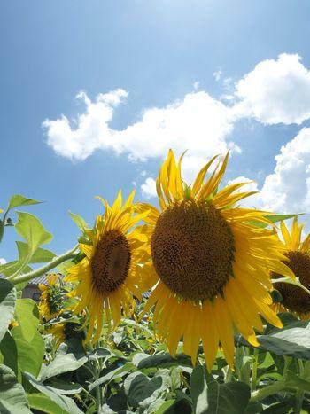 嗚呼、もう焦れったいな…さっさとチューしちゃいな‼︎ Olympus OM-D E-M5 Mk.II Tokyo Street Photography Summertime Flower Flowering Plant Plant Freshness Growth Fragility Yellow Sunflower Sky Cloud - Sky Flower Head Petal Close-up