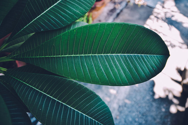 Photo taken in Bangkok Thailand Banana Leaf Beauty In Nature Close-up Day Focus On Foreground Fragility Green Color Growth High Angle View Leaf Leaf Vein Leaves Natural Pattern Nature No People Outdoors Pattern Plant Plant Part Turquoise Colored Vulnerability