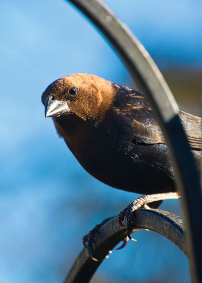 Animal Themes Animal Wildlife Animals In The Wild Bird Close-up Cowbird Day Focus On Foreground Nature No People One Animal Outdoors Perching Sky Upstate New York Wrought Iron