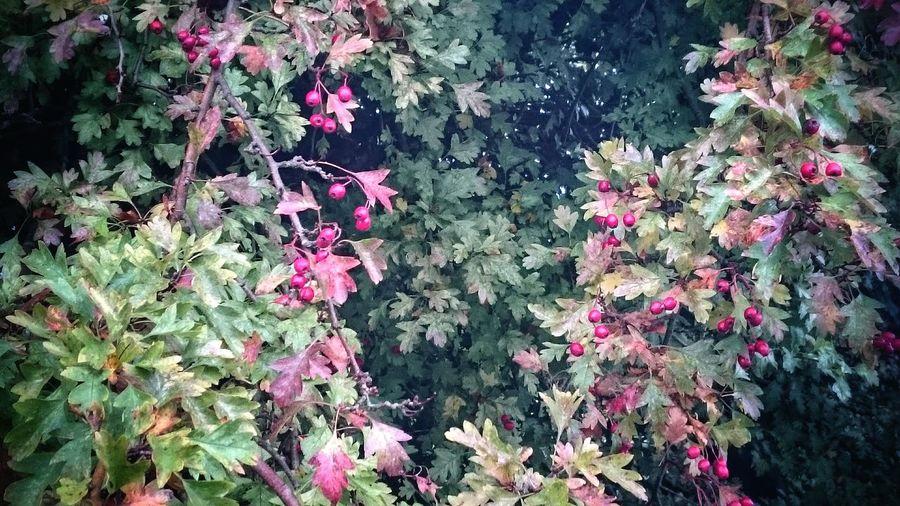 Autumn Leaves Berries Tree