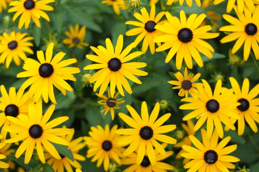 Abundance Backgrounds Beauty In Nature Black-eyed Susan Blossom Botany Close-up Daisies Daisy Flower Flower Head Fragility Freshness Full Frame Growth In Bloom Nature Petal Plant Selective Focus Springtime Summer Vibrant Color Yellow Yellow Color