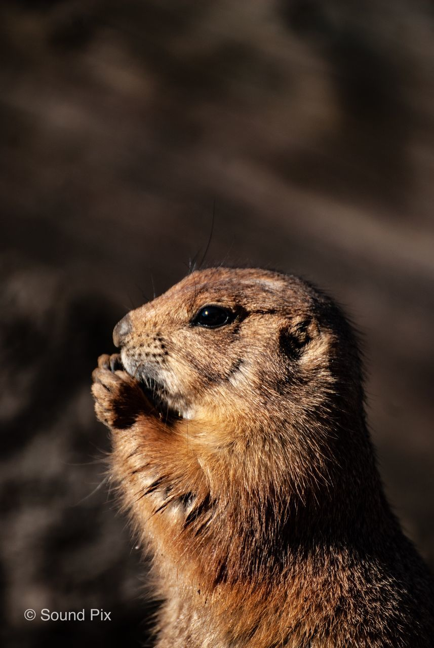 one animal, animal themes, animal wildlife, animal, animals in the wild, mammal, no people, focus on foreground, close-up, looking away, rodent, vertebrate, looking, animal body part, brown, nature, animal head, day, zoology, outdoors, whisker, animal eye, profile view