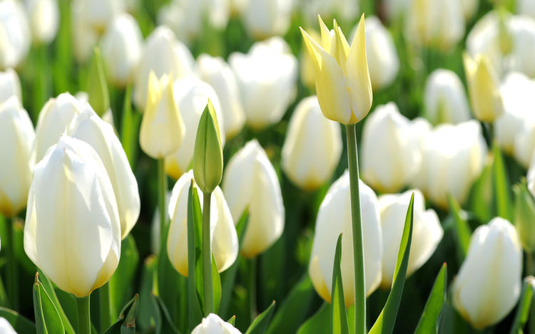 Tulip Flower White