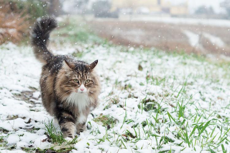 Cat walking on snow