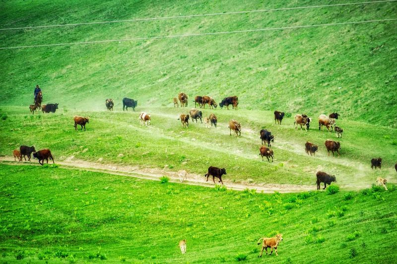 Kyrgyzstan Street Photographer Grass Livestock Domestic Animals Group Of Animals Mammal Animal Themes Field