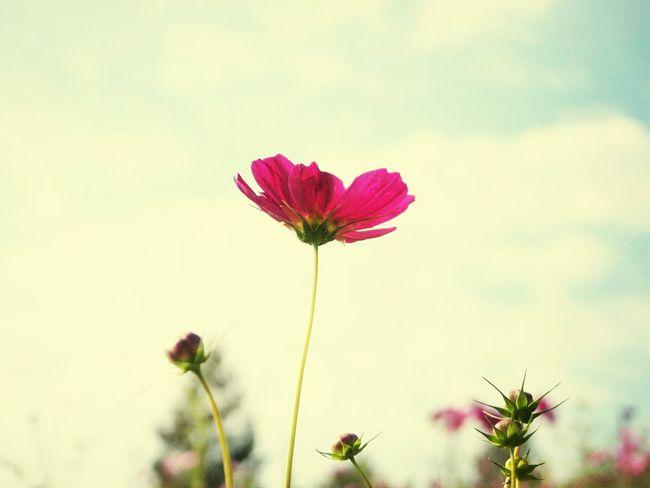 Flowers Taking Photos コスモス Camera