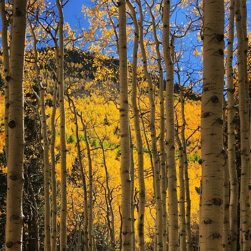 IPS2015Fall Arizona Autumn Colors Landscape Aspens Colors Of Autumn Colour Of Life Lost In The Landscape Autumn Mood