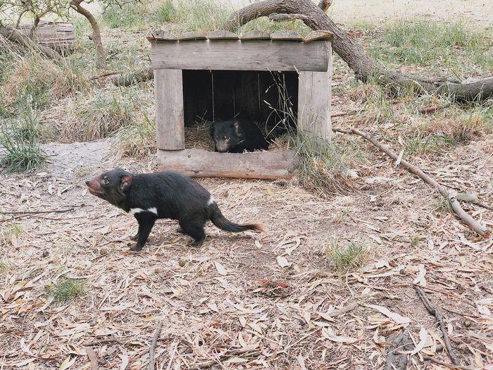 tassie devil!! Tasmanian Devil One Animal Animal Themes Mammal Animals In The Wild No People Nature Outdoors