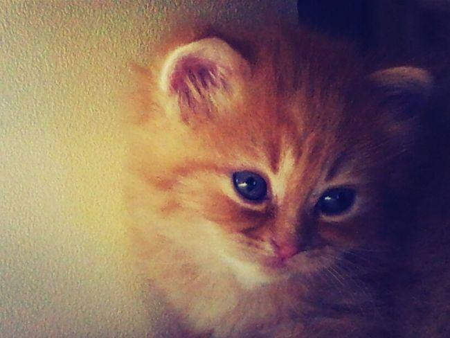 مربي وهاوي للقطط ..يوجد قطط صغيرة للبيع عمر شهرين Kitty Kitten My Cat My Kitty Cat