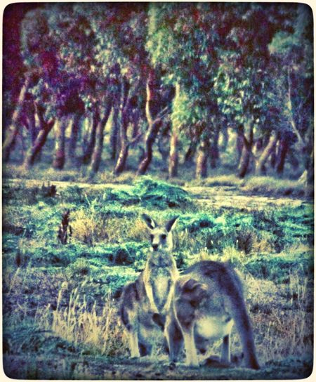 Keeping watch. KangaroosOn The Lookout Australian Wildlife Trees Animals Fun With Editing :)