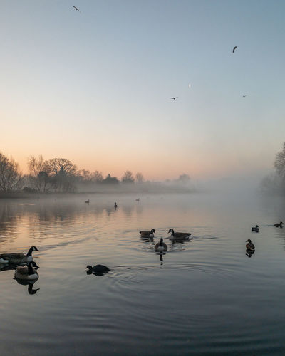 Close up view of ducks in a lake at sunrise