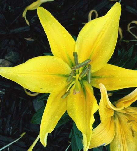 Natural Beauty Nature Photography Oklahoma Nature IPhoneography Oklahoma Lilly Yellow Yellow Flower Yellow Lillies Stargazerlilies Stargazer Lily Stargazer