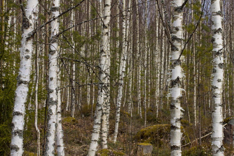 Birch Tree Day Forest Nature No People Outdoors Spring Tree