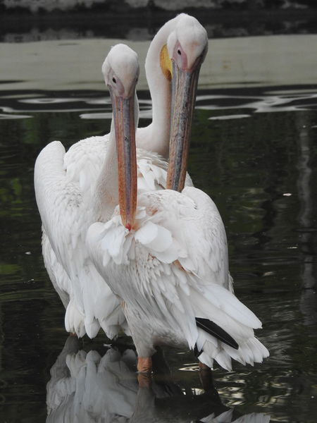 Bishop's Pelican Animal Animal Themes Beauty In Nature Bird Nature Pelican Preening Birds Preening Feathers