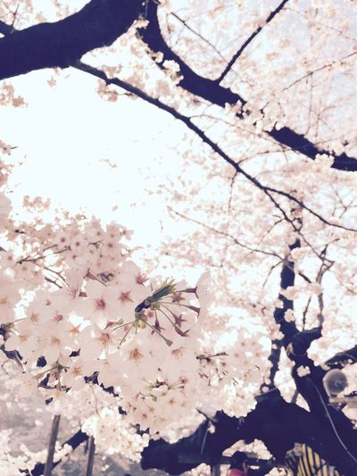 サクラ Cherry Blossoms Tokyo,Japan Chidorigafuchi Flowers Spring Spring Flowers Morning
