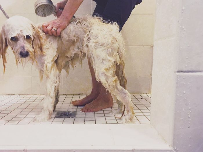 Traveling Home For The Holidays Pets One Animal Bath Time Squeaky Clean Holiday Bath Get Pretty Where's Your Bow Unhappy Help Me Dogslife Indoors  Domestic Animals Pet Owner