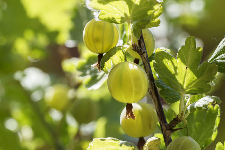 organic green gooseberries growing in the sunlight on a shrub in the garden, copy space Gooseberry Fruit Bush Branch Garden Shrub Copy Space Nature Organic Growth Plant Food And Drink Food Day Outdoors No People Healthy Eating Sunlight Healthy Vitamin