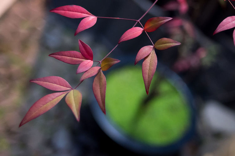 Close-up of frangipani blooming outdoors