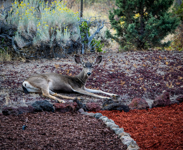 Deerscaping Animal Themes Animals In The Wild Bestoftheday Check This Out Day Deer EyeEm Best Shots Field Full Length Landscape Landscaping Mammal Mulch National Park Nature No People Non-urban Scene Outdoors Wildlife Zoology My Year My View