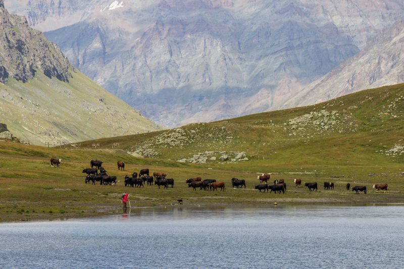 Buffaloes Walking On Grassy Field By River And Mountains