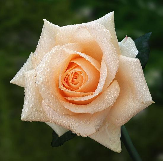 Macro shot of water drops on rose