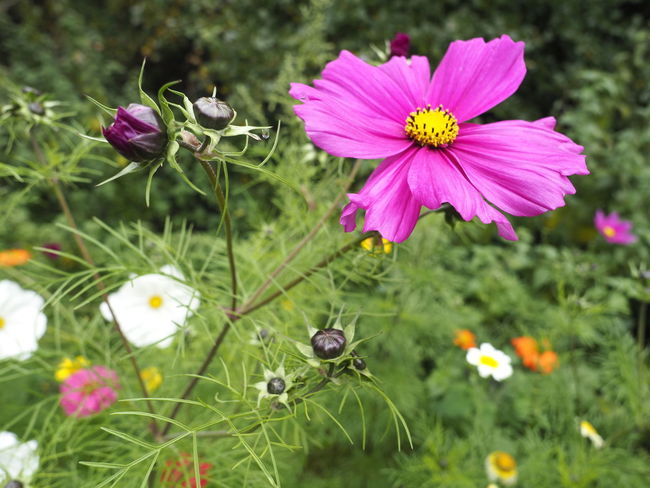 Green Green Green!  Animal Themes Beauty In Nature Blooming Close-up Cosmos Flower Day Eastern Purple Coneflower Field Flower Flower Head Focus On Foreground Fragility Freshness From Seed Growth Hedgehog Leaves Nature No People Outdoors Petal Pink Color Plant Wild Flower Photography