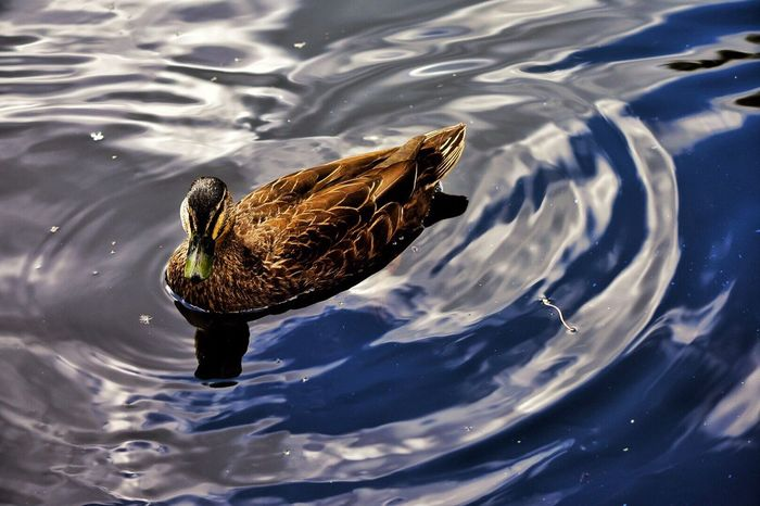 Water Animal Themes One Animal Bird Swimming Animals In The Wild Duck Rippled Waterfront High Angle View Nature Water Bird Animal Wildlife Lake Outdoors Day No People