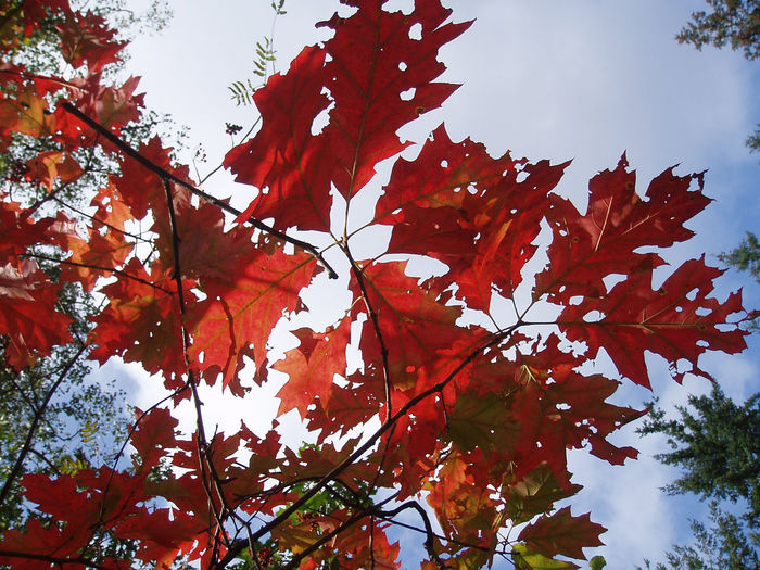 Autumn leaves. Autumn Red Beauty In Nature Low Angle View Netherlands Annas Hoeve Hilversum Autumn Leaves Botany
