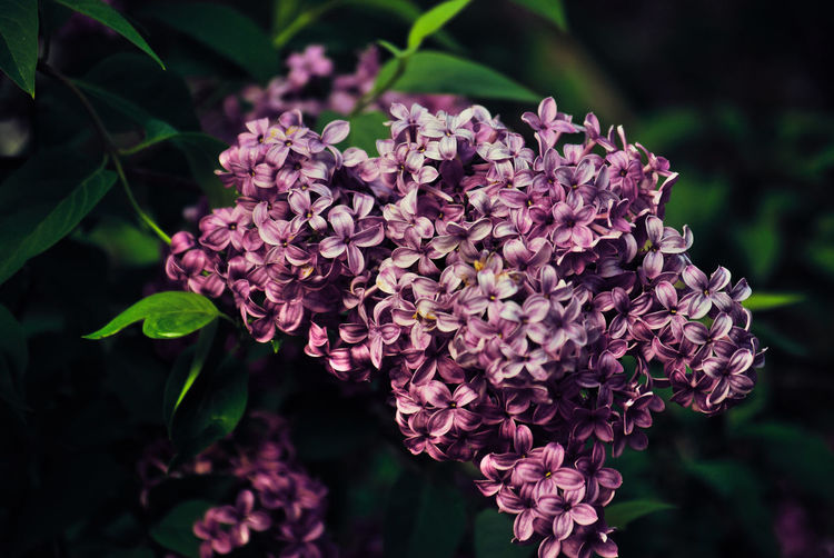Flower Head Flower Lilac Pink Color Purple Leaf Petal Nature Reserve Close-up Plant Flowering Plant In Bloom Plant Life Blossom Plant Part Blooming