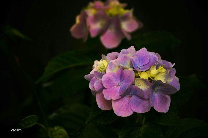 いつもの Beach Sideに紫陽花が咲いてました☺✋ Hydrangea 紫陽花2015Photo 花びらふぇち Flower EyeEm Flower Beautiful Flower EyeEm Nature Lover Light And Shadow Kagoshima