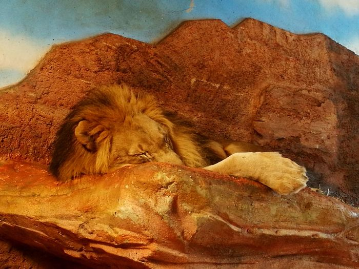 🦁 Lion King One Animal Chillaxing ✌ Zoo Salzburg
