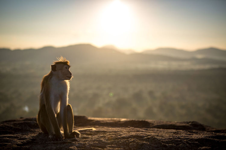 Animal Animal Wildlife Animals In The Wild Beauty In Nature Dambulla Day Fog Lion Mammal Monkey Mountain Nature No People One Animal Outdoors Pidurangala Rock SriLanka Sunbeam Sunlight Sunrise Sunset Tail