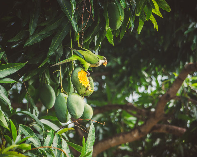 We had three mango trees in our garden and the green parrots loved them. Just like we did! Animal Animal Themes Animal Wildlife Animals In The Wild Animals In The Wild Beauty In Nature Bird Focus On Foreground Food Food And Drink Freshness Fruit Green Color Growth Jungle Leaf Mango Nature No People One Animal Outdoors Parrot Perching Tree Wildlife BYOPaper! The Great Outdoors - 2017 EyeEm Awards EyeEm Selects The Great Outdoors - 2018 EyeEm Awards