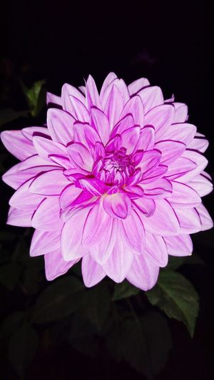 India Pink Flower 🌸 Pink Dahlia Home Gardening Home Garden Night Photography Night Click Flashlight Clicked From Phone