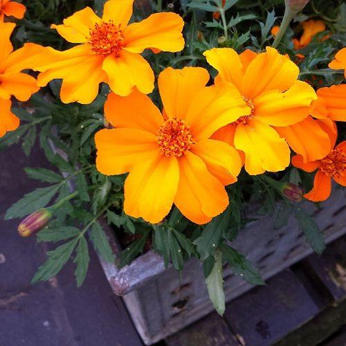 Mammas lilla Blomml åda Blommor Sommar trönninge halmstad halland