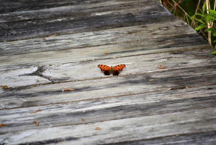 Just Landed Boardwalk Brown Butterfly Close-up Day Design Dock Ground Landed Little Butterfly Monarch Monarch Butterfly Natural Details Nature No People On The Water Orange Outdoors Pretty Small Small Butterfly Wings Wood - Material Wooden Wooden Path