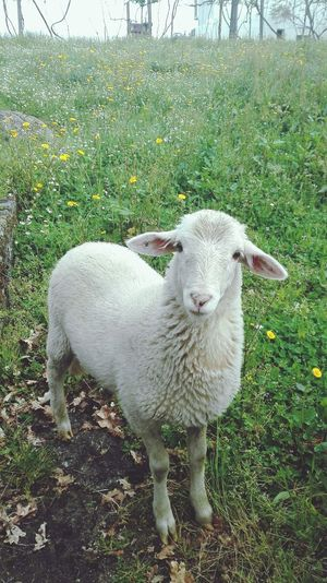 The sheep Nature Animals Portugal